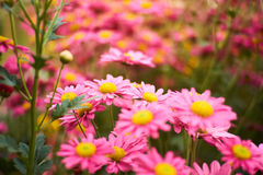 Накаляя розовый цветок на саде Стоковые Изображения
