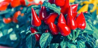 Накаленные докрасна перцы chili в баке, стиле instagram, panoram Стоковое фото RF