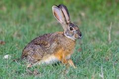 Накидка или общее или зайцы Брайна, сигнал тревоги, Masai Mara, Кения Стоковая Фотография