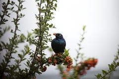 Накидка лоснистый Starling Стоковые Фото