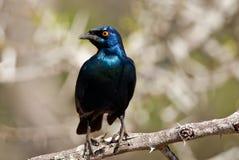 Накидка лоснистый Starling Стоковая Фотография