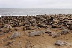 Накидка cros колоний морского котика Брайна на переднем плане молодая, накидка cros колоний морского котика NamibiaBrown на перед Стоковое Изображение