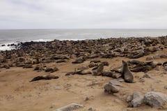 Накидка cros колоний морского котика Брайна на переднем плане молодая, накидка cros колоний морского котика NamibiaBrown на перед Стоковое Фото