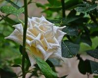 Наклоненная помощь себя, простой обожает розы стоковые изображения