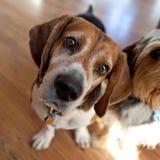 наклон головки beagle стоковое изображение rf