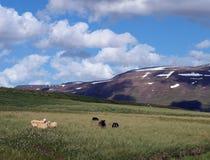 наклон овец горы Стоковая Фотография