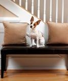 наклон terrier стоковая фотография rf
