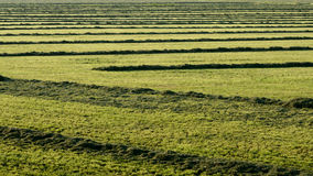 Накошенная трава в поле стоковая фотография rf