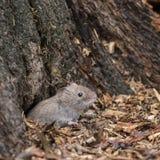 Накрените грызун Myodes Glareoleus полевки в распадаясь пне дерева внутри для Стоковые Изображения RF