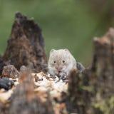Накрените грызун Myodes Glareoleus полевки в распадаясь пне дерева внутри для Стоковая Фотография