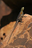 Намибийская агама утеса - Намибия Стоковое Изображение