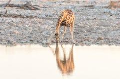 Намибийская питьевая вода жирафа на waterhole на заходе солнца Стоковое фото RF