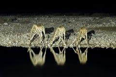 Намибийские жирафы, питьевая вода на искусственно освещенном waterho Стоковые Фотографии RF