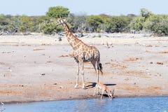 Намибийский жираф и темнокожий штоссель импалы, на waterhole Стоковое Изображение
