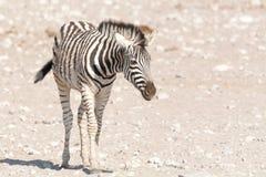 Намибийский котенок зебры Стоковое Фото