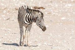 Намибийский котенок зебры Стоковое Изображение RF