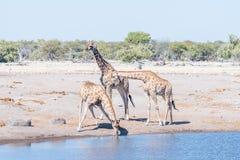 3 намибийских жирафа, angolensis camelopardalis giraffa, один Стоковые Изображения