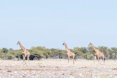 3 намибийских жирафа, angolensis camelopardalis Giraffa, прогулка Стоковое Изображение RF