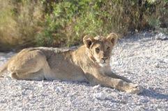 Намибия: Чашка льва лежит вокруг в Etosha Nationalpark стоковое фото