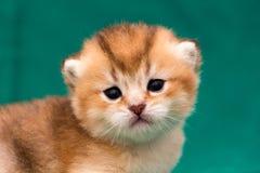 Намордник конец-вверх котенка имбиря золотой великобританский стоковые изображения rf