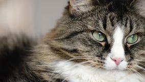 Намордник конца-вверх кота сток-видео