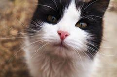 Намордник конца-вверх черно-белого кота стоковые изображения