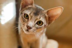 Намордник маленького абиссинского конца-вверх портрета котенка любознательный стоковые фото