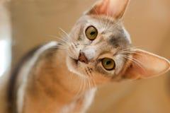 Намордник маленького абиссинского конца-вверх портрета котенка любознательный стоковая фотография rf