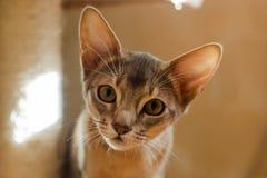 Намордник маленького абиссинского конца-вверх портрета котенка любознательный стоковое изображение rf