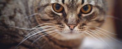 Намордник сердитого striped кота Стоковое фото RF