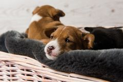 Намордник сонного щенка basenji стоковые изображения