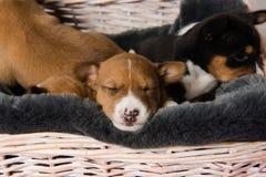 Намордник сонного щенка basenji стоковое фото rf