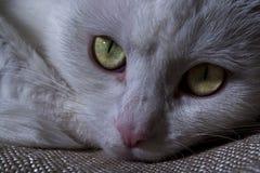 Намордник белого крупного плана кота Стоковые Фотографии RF