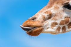 Намордник жирафа стоковая фотография