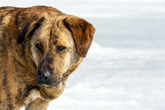 Намордник дикой собаки Стоковое Изображение RF