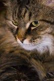 Намордник конца-вверх кота Стоковая Фотография