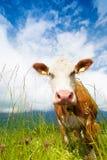 Намордник коровы Стоковое Изображение RF