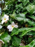 Намочите белый цветок и листья в сезоне дождей который захватил в саде стоковая фотография rf
