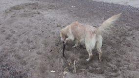 Намочите волосатую собаку на песке пляжа с ручкой сток-видео