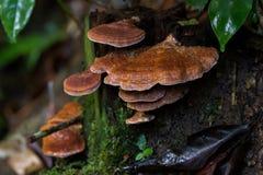 Намочите коричневый гриб грибка кронштейна растя на дереве на Fraser's Стоковая Фотография RF