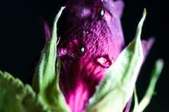 Намочите падение в фокусе на покрашенной умершими предпосылке темноты красной розы стоковое фото rf
