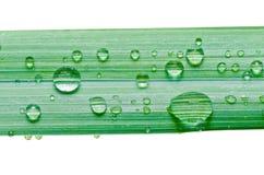 Намочите падения на зеленых изолированных листьях Стоковое Изображение