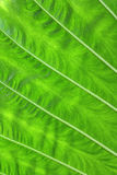 Намочите падения на свежих зеленых листьях Стоковые Фотографии RF