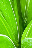 Намочите падения на свежих зеленых листьях Стоковое фото RF