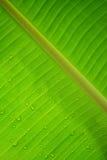 Намочите падение на зеленой предпосылке текстуры лист банана Стоковое фото RF