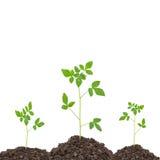 намочите падение с молодым зеленым растением на почве, на белом backgr Стоковая Фотография
