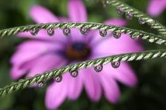 Намочите падения с отражением цветка африканской маргаритки, макросом Стоковое фото RF