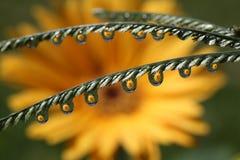 Намочите падения с отражением цветка маргаритки Gerbera, макросом Стоковые Изображения RF