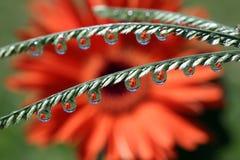 Намочите падения с отражением цветка маргаритки Gerbera, макросом Стоковые Изображения