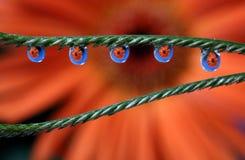 Намочите падения с отражением цветка маргаритки Gerbera, макросом Стоковые Фотографии RF